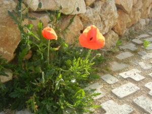英語名:Common poppy コモンポピー日本語名:ケシ、ポピー