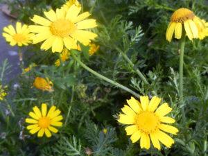 英語名: Crown daisy クラウン デイズィ- 日本名:春菊