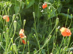 英語名: Mediterranean poppy メディテラニアン ポピー ケシの一種