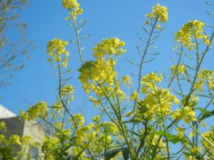 英語名: Mustard plant マスタード プラント 日本名:カラシナ